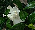 Gardenia20200812 ohs01.jpg