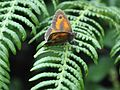 Gatekeeper (Pyronia tithonus) (7580788654).jpg