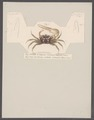 Gelasimus duperreyi - - Print - Iconographia Zoologica - Special Collections University of Amsterdam - UBAINV0274 094 02 0008.tif