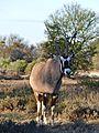 Gemsbok (Oryx gazella) (32227281870).jpg