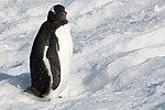 Gentoo Penguin Orne Harbour Antarctica 2 (33460822288).jpg