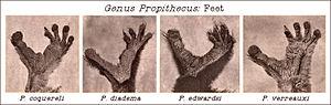 Sifaka - Image: Genus Propithecus Feet