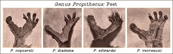 Genus Propithecus Feet.jpg