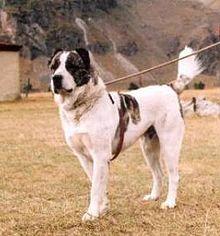 Georgian Shepherd Wikipedia