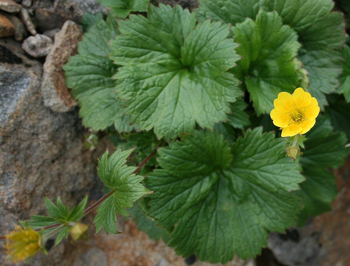 geum calthifolium   wikispecies