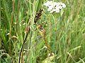Gewone oeverlibel (Orthetrum cancellatum) B.jpg