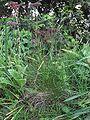 Gewoon roodzwenkgras bloeiend (Festuca rubra var. commutata).jpg