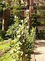 Giardino botanico di Brera (Milan) 341.jpg