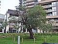 Gibson Square apple tree (1).jpg