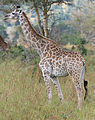 Giraffe Mikumi National Park edit1.jpg