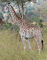 Giraffe Mikumi National Park edit1.jpg