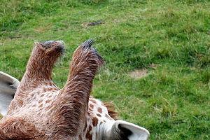 Ossicone - Ossicones of a reticulated giraffe.