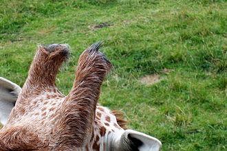 Ossicone - Ossicones of a reticulated giraffe