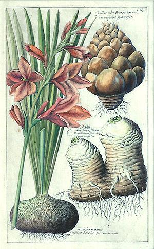 Emanuel Sweert - Plate 66 from Florilegium