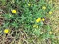 Glebionis segetum plant (10).jpg