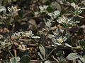 Glinus lotoides (5505748587).jpg