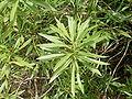 Globularia salicina (Puntallana) 08 ies.jpg