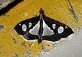 Glyphodes bicolor Crambidae by Dr. Raju Kasambe DSCN0453 (9).jpg