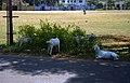 Goats in Cochin (6627559647).jpg