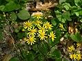 Golden Ragwort Senecio aureus Plant 3264px.JPG