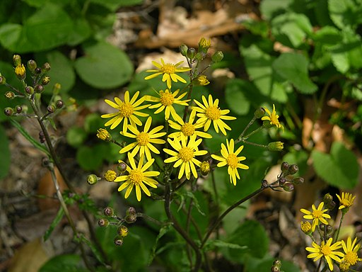 Golden Ragwort Senecio aureus Plant 3264px
