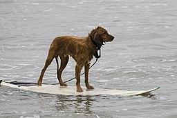 Golden Retriever surfing.