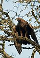 Golden eagle perched in a tree at Patuxent Reasearch Refuge. Work at the refuge was instrumental in linking DDt to the species' population loss (21949230989).jpg