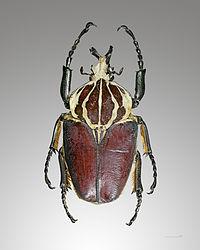 Goliathus goliatus dos.jpg