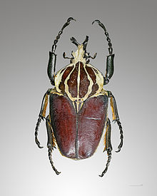 beetle wiktionary