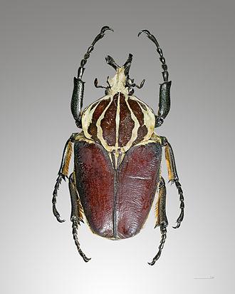 Goliathus - Goliathus giganteus (Goliath Beetle)