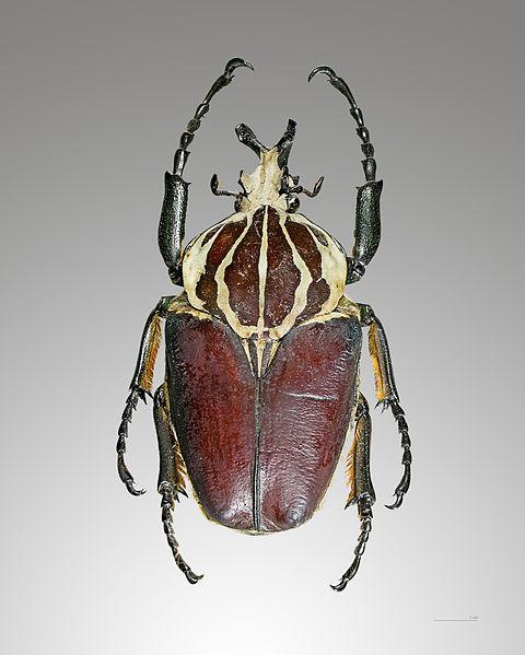 Ficheiro:Goliathus goliatus dos.jpg