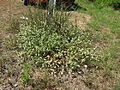 Gomphrena celosioides plant8 (14440089039).jpg