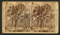 Goodrow's Clearing, Forest scene, from Robert N. Dennis collection of stereoscopic views.png