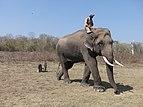 Gopalswamy, 35 year old tusker, Nagarahole TR AJTJ P1080603.jpg