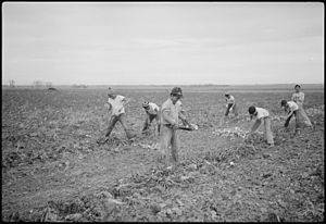 Propaganda for Japanese-American internment - Internees farming sugar beets while relocated at the Amache Internment Camp