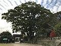Grand camphor tree in Ogi Park.jpg