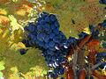 Grape Cluster (2213776910).jpg