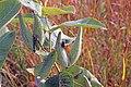 Grasshopper on milkweed (15330832962).jpg