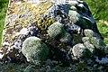 Gravestone lichen - geograph.org.uk - 355221.jpg