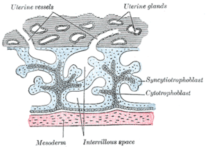 Intervillous space - Primary chorionic villi. Diagrammatic.