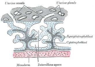 Uterine gland - Image: Gray 36