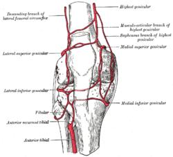 lateral circumflex femoral artery - wikipedia, Cephalic Vein