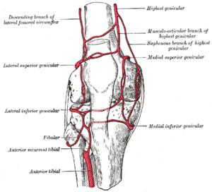 Lateral circumflex femoral artery - Circumpatellar anastomosis. (Descending branch of lateral femoral circumflex visible at upper left.)