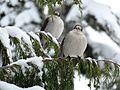 Gray Jays in a Nootka Cypress, Red Heather, British Columbia.jpg