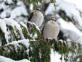 Gray Jays in a Nootka Cypress, Red Heather, British Columbia.jpg