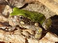 Gray Tree Frog, Missouri Ozarks.JPG