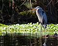 Great Blue Heron - Ardea Herodias - St Johns River 2.jpg