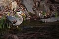 Great Blue Heron with fish (6936994736).jpg
