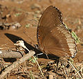 Great Eggfly- Hypolimnas bolina (Female) at Sindhrot near Vadodara, Gujrat Pix 096.jpg