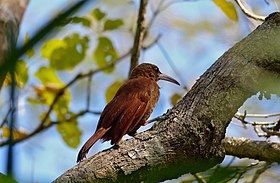 Great Rufous Woodcreeper (Xiphocolaptes major) (30926748654).jpg